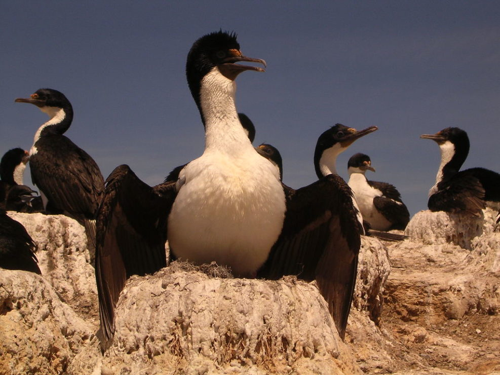 Cormoranes in Patagonia