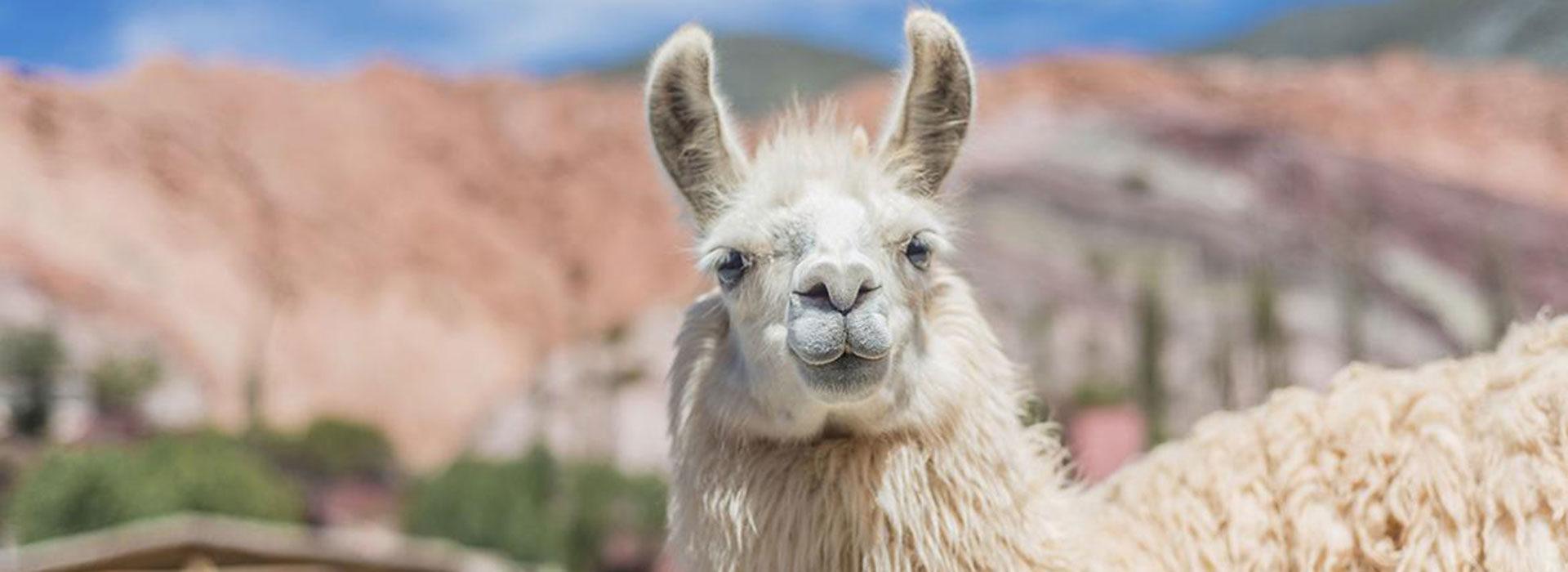 Llama - Jujuy