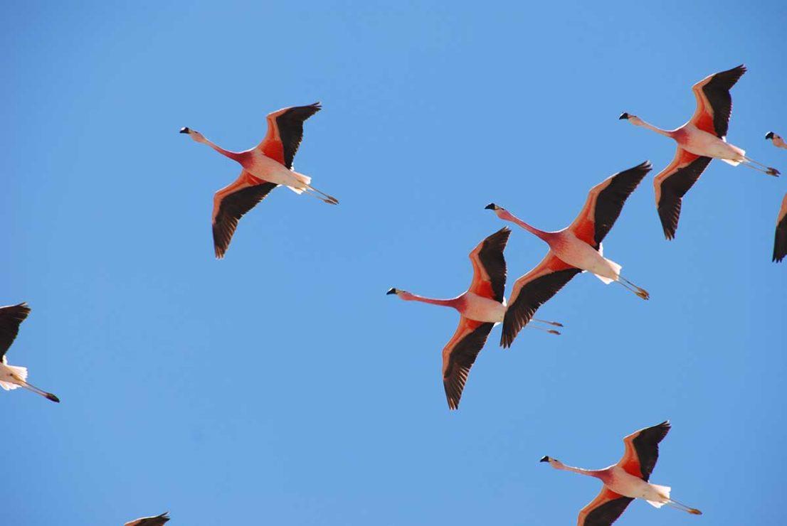 Flamingoes in Atacama