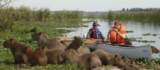 Capybaras in Ibera