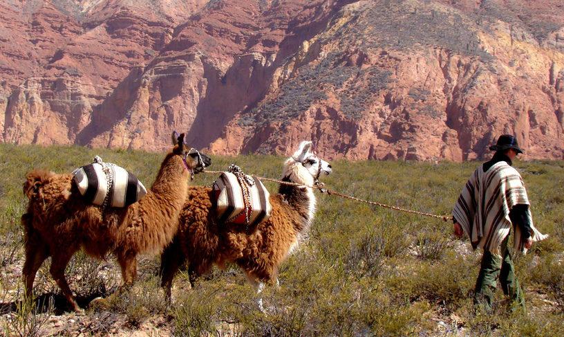 Trekking with Llamas